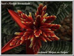 Aechmea 'Stripes on Stripes' (Cultivar) $20.00
