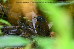 Chestnut-backed antbird - female