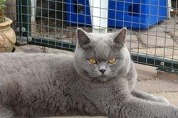 ernstige blik van Feline
