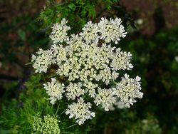 Flowers of Fool's parsley **** Poisonous.