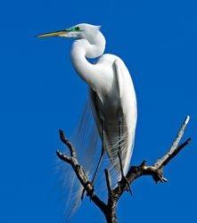 Regal Egret by Judy Lathrop (AW)