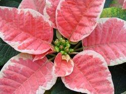 Nochebuena (Poinsettia) #5