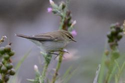 Greenish Warbler  -  POUILLOT VERDATRE