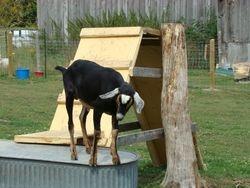 Preston Goat
