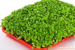 CHINESE CABBAGE microgreens, 8 days since sown