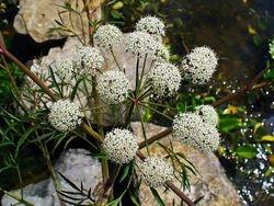 Cowbane flower umbel.