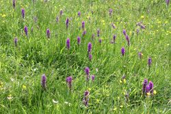 Marsh Orchids in the meadow