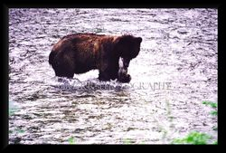 Grizzly holding salmon