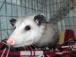 Juvenile Opossum 3