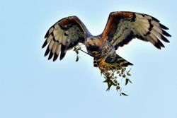 Male collecting nesting material