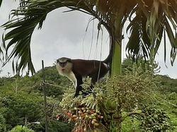 Adult male mona monkey, Grand Etang NP (2019)
