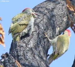 Green Woodpecker Fledgling