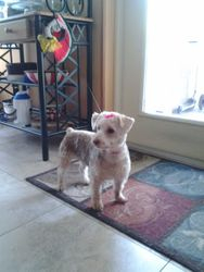 cookie-bichon/Yorkie mix