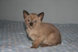 7 weeks old - Brown Mink Boy - Reserved