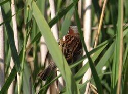 Red Headed Shrike