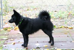 This is what a tail looks like on a Schipperke