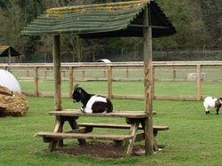 Table de Goat!