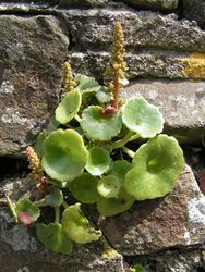 Navelwort with foliage