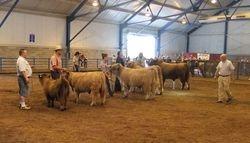 Grand Champion Bull Line-up