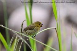 Variable seedeater - femae