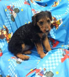 GINA:  $1095 companion, Female, Giant Airedale Terrier, born 3-5-17, Home Raised, 2 Year Health Guarantee, Vet Physical Exam, Current Vaccinations and Deworming, AKC Reunite Microchip, Care Recommendations and Guidance