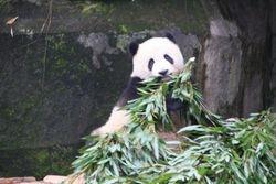 Great Panda at Zoo in Chongquing