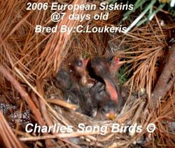 European Siskin babies