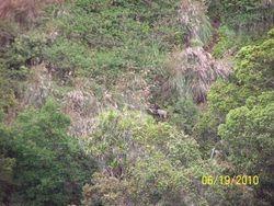 Kauai Goat