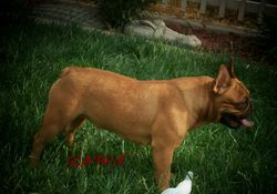 ADF CH Curly's Circe Butterball Glamour - NOT BREEDING