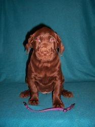Purple Collar Female - 6 Weeks Old
