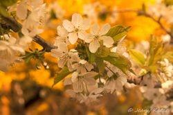 Cherryblossom / Kischblüte