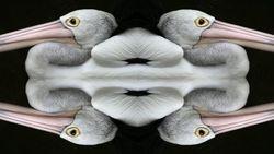 4 Pelicans