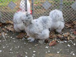 Pullets 5 months