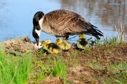 Oie au nid - Goose on its nest with goslings.