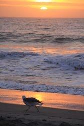 Morning Gull Walking