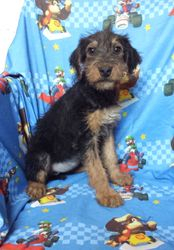 Praline: $985 after spay rebate, $1495 AKC registration with breeding rights, Female, Stunning Giant AKC Airedale Terrier, quality, intelligence, born 2-18-17 to Princess and Casey