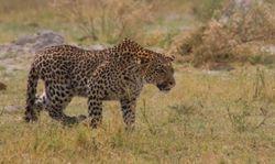 Leopard at Khwai