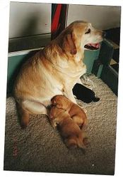 Rose with her foxred puppies