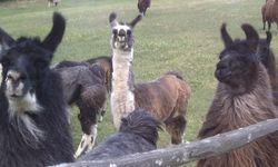Llama Fan Club