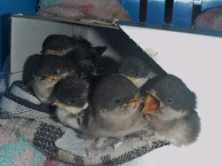 Nest of House Martins