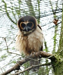 Another Brown Wood Owl