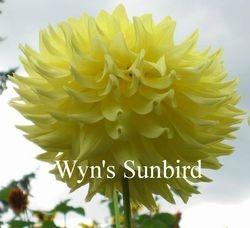 Wyn's Sunbird A SC Yellow