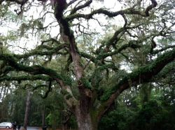 Live oak with ferns