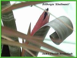 Billbergia kuhlmannii $25.00