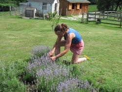 Debbie harvesting