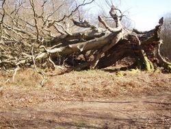 The Big Beech tree - 2012