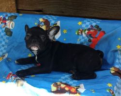 RAELYN:  $2595 companion, $3295 Full AKC registration and breeding rights, AKC French Bulldog Pup born 4-6-17, pics on 7-16-17