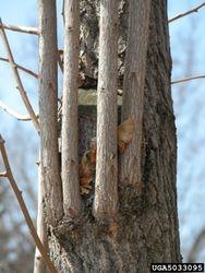 Epicormic Branch