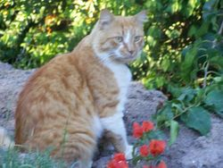 Tiger - missing from Wivenhoe Pocket