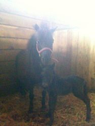 Colter's 2011 Mini foal and mamma